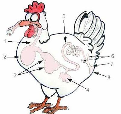 Hệ thống tiêu hóa của gà. 1: thực quản, 2: diều, 3: bao tử và mề, 4: gan và mật, 5: ruột non, 6: ruột tịt, 7: ruột già, 8: huyệt.