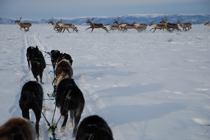 Caribou and Sled Dogs