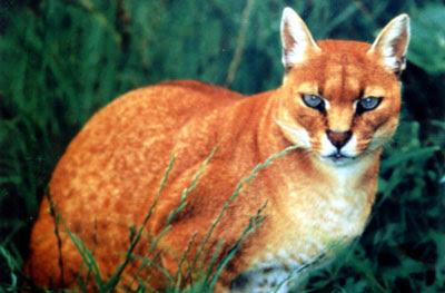 Kucing Emas-jenis hewan langka.jpg