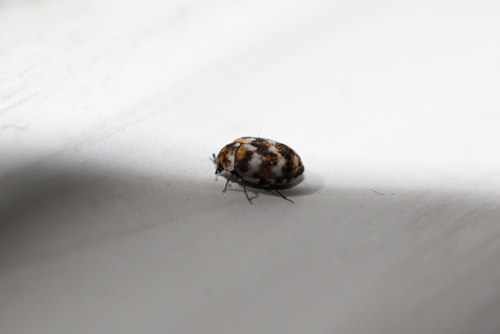 A small beetle on the windowsill  Natural Current Events April 2013. Small Black And White Bugs   Descargas Mundiales com