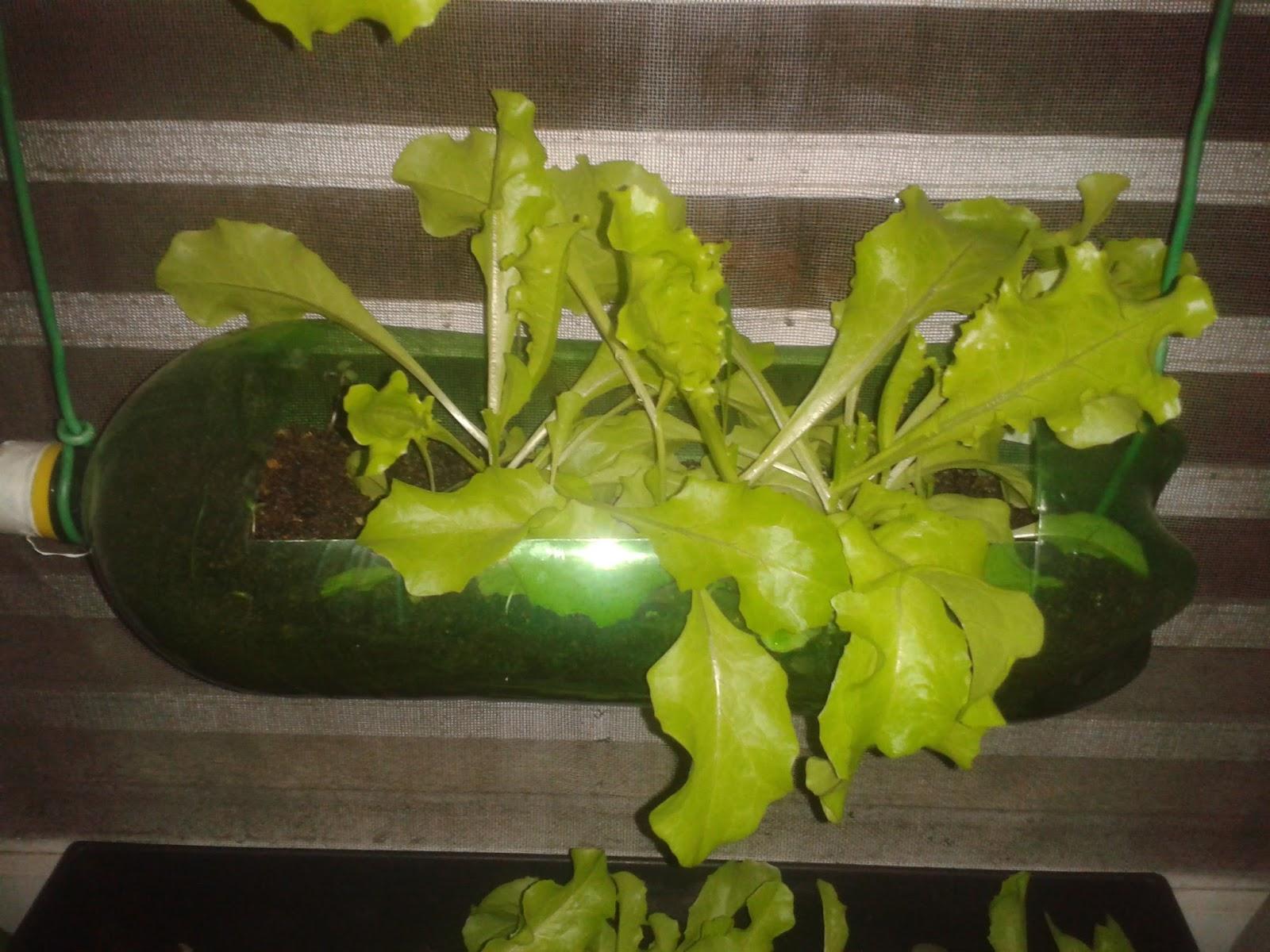 Extremamente Ecotrecos: Plantando alface em vaso, jardineira ou garrafa PET na  XY16