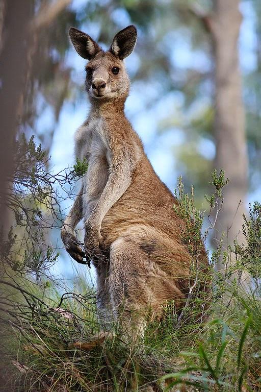 кенгуру википедия фото