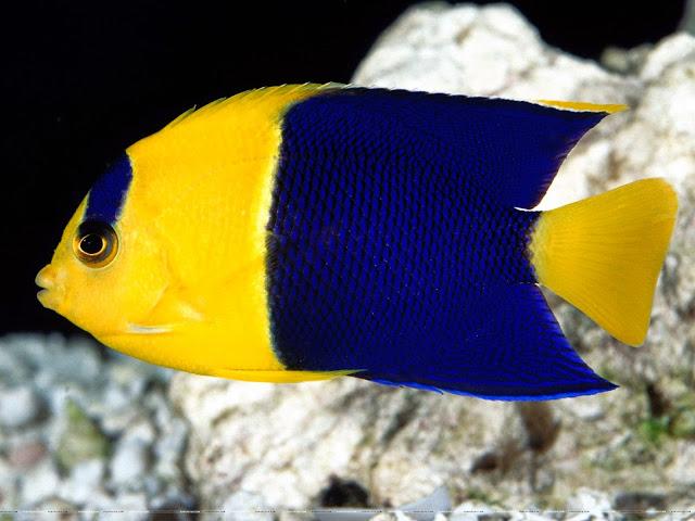 กรมประมง เพาะพันธุ์ ปลาสินสมุทรแคระ ไบคัลเลอร์ (Bicolor Angelfish) ได้สำเร็จ