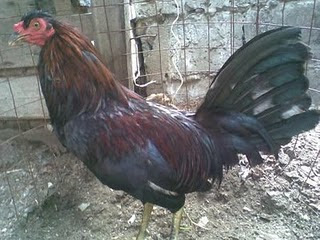 gallo haths