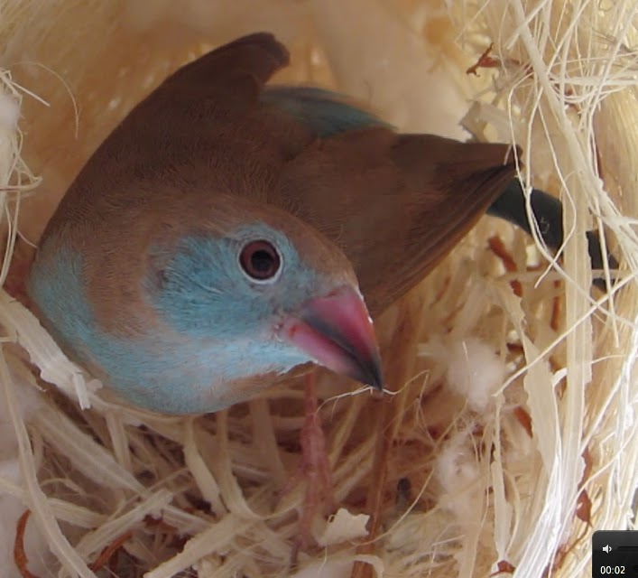 Cordon bleu finch nest - photo#16