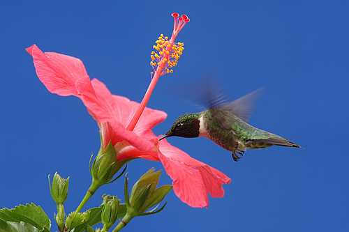 Hummingbird with Hibiscus Flower Tattoo