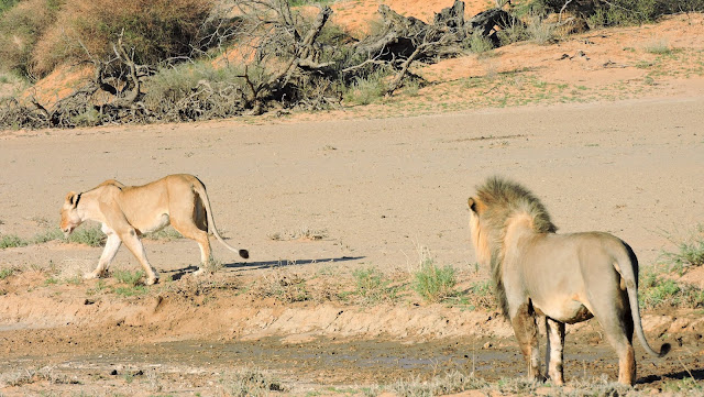 Male lion watching female lion in the Kgalagadi Transfrontier Park
