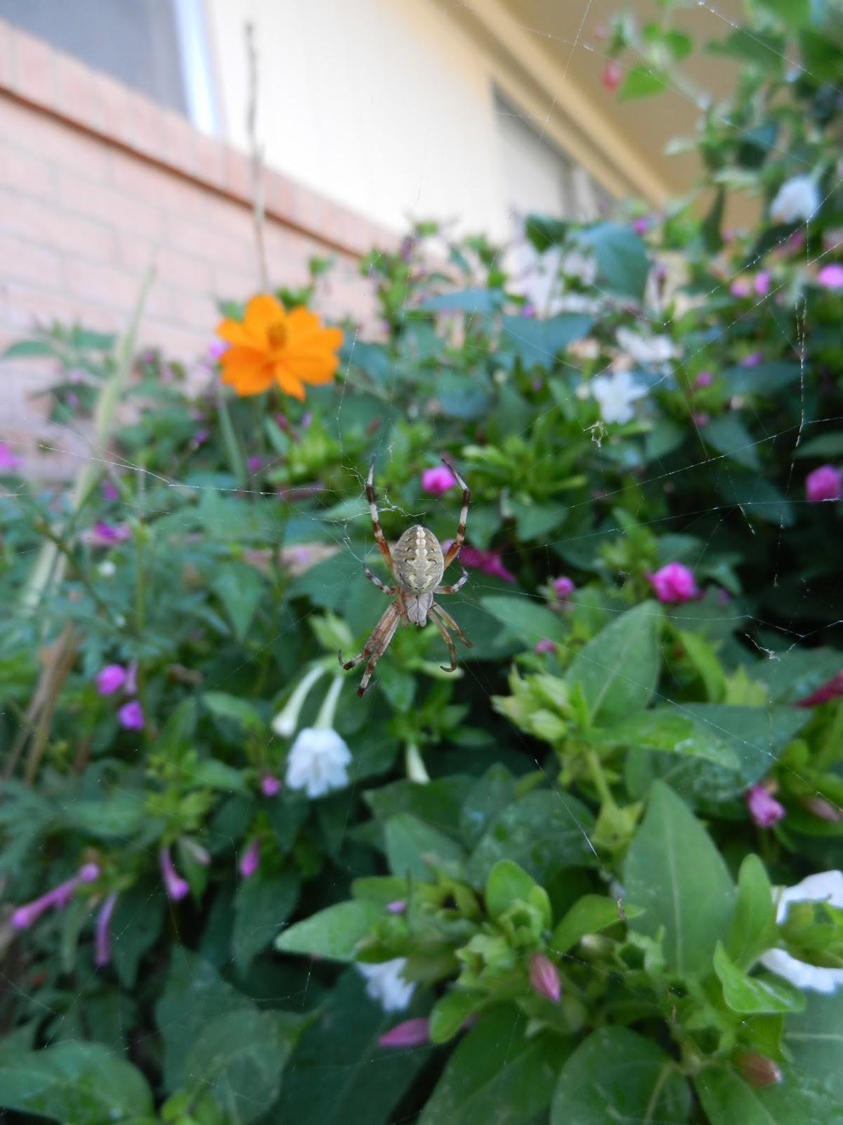orb weaver garden spider