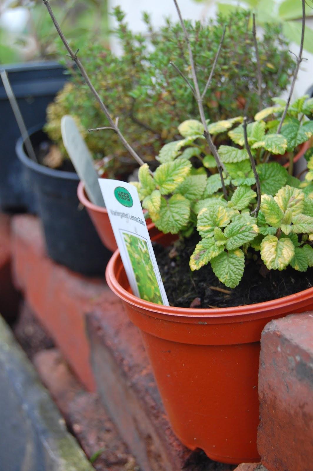 Herbs in pots on windowsills are a great harvest #lifeonpigrow