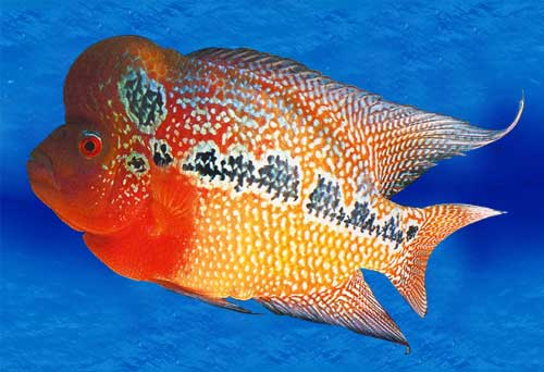 Fourth eye beautiful flowerhorn fishes for Flowerhorn fish for sale