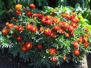 1.09. Скромные цветочки радуют глаз. Выросли самосевом.