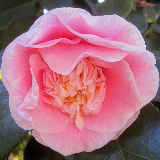 camellia japonica, c.m. wilson, huntington gardens