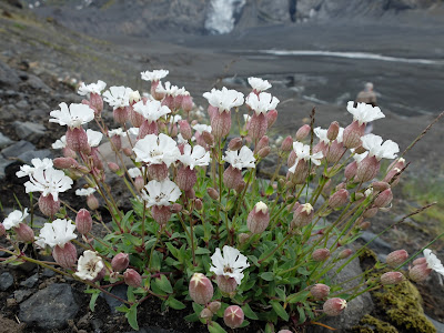 Silene uniflora – Sea Campion (#100)