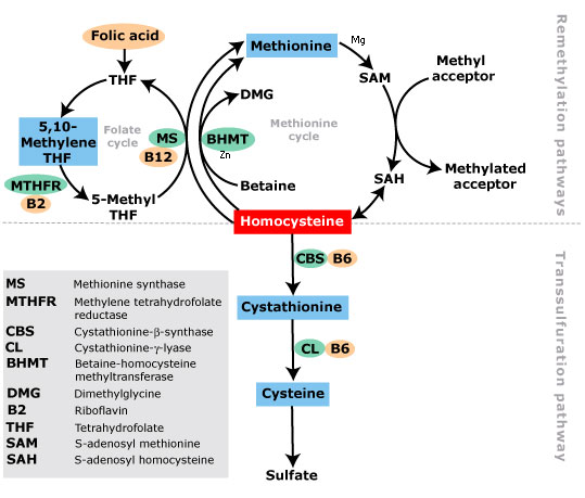 Homocysteine_metabolism.png