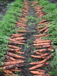 22 сентября, сбор урожая морковки