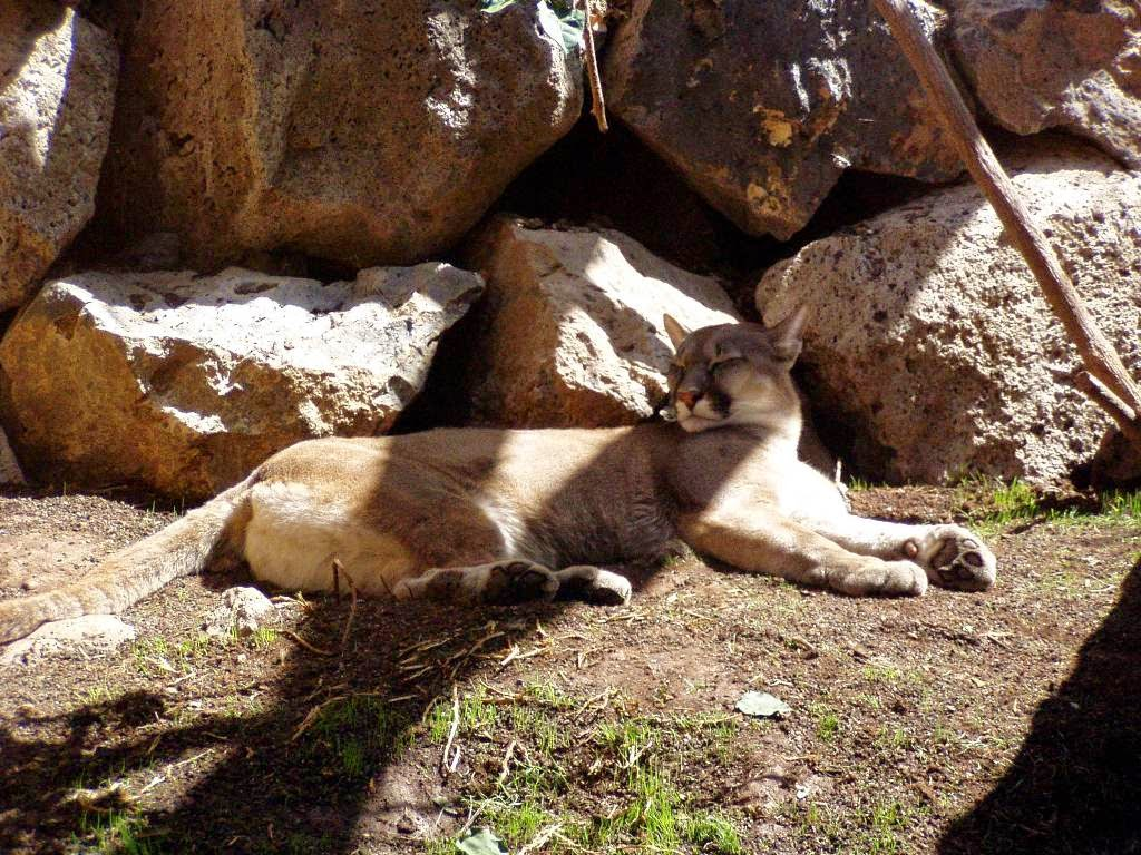 Jungle Park Tenerife Puma