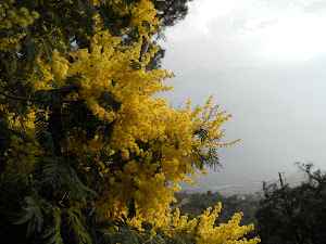 Avui la mimosa altiva se m´ha posat al davant tota plena d´arracades, pènjolls i fils daurats...