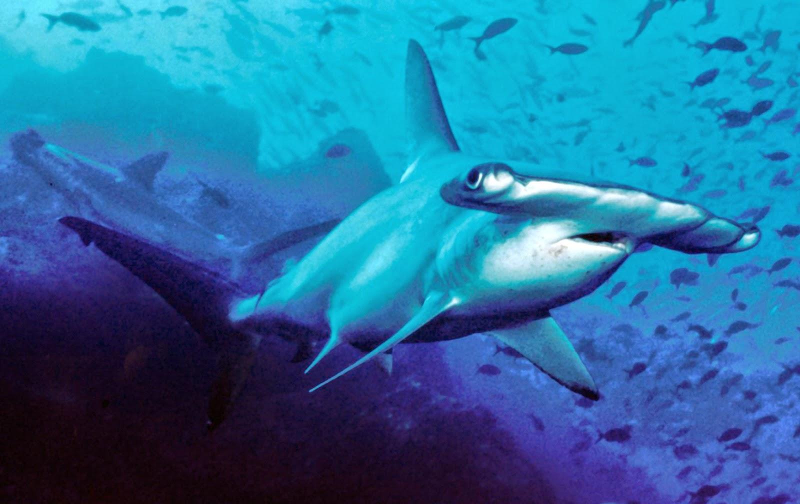 Tiburon con cabeza de martillo
