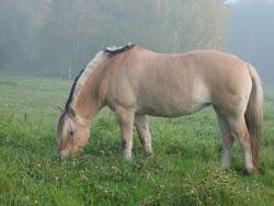 "Askhild ""Hilda"" -fjordhäst/vuonohevonen"