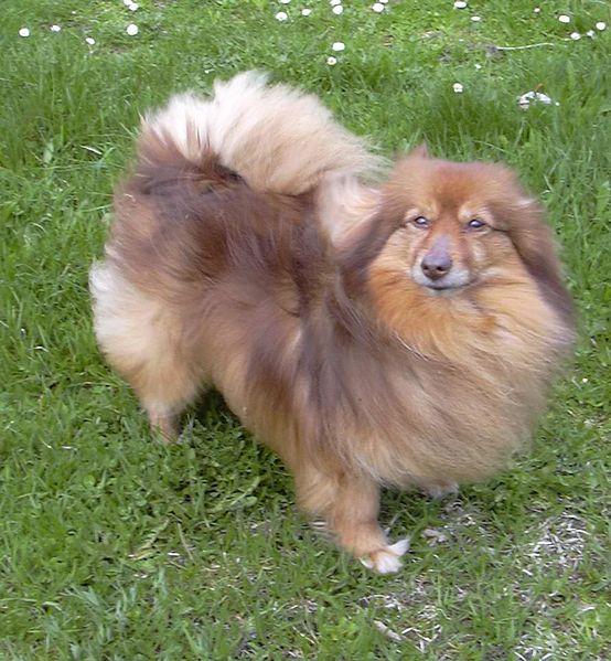 Dog Pictures: German Spitz dog