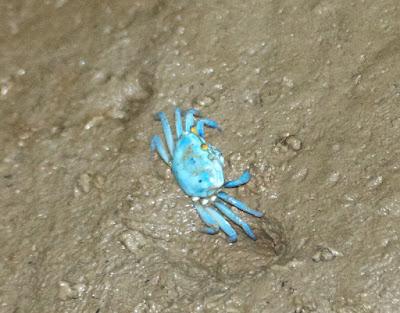 Blue Fiddler Crab (Uca tetragonon)