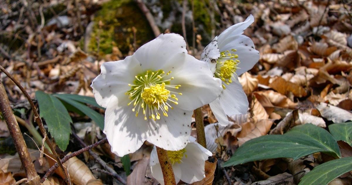 La Rosa delle nevi: lElleboro