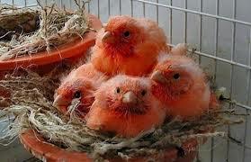 Tips Cara Ternak Burung Kenari