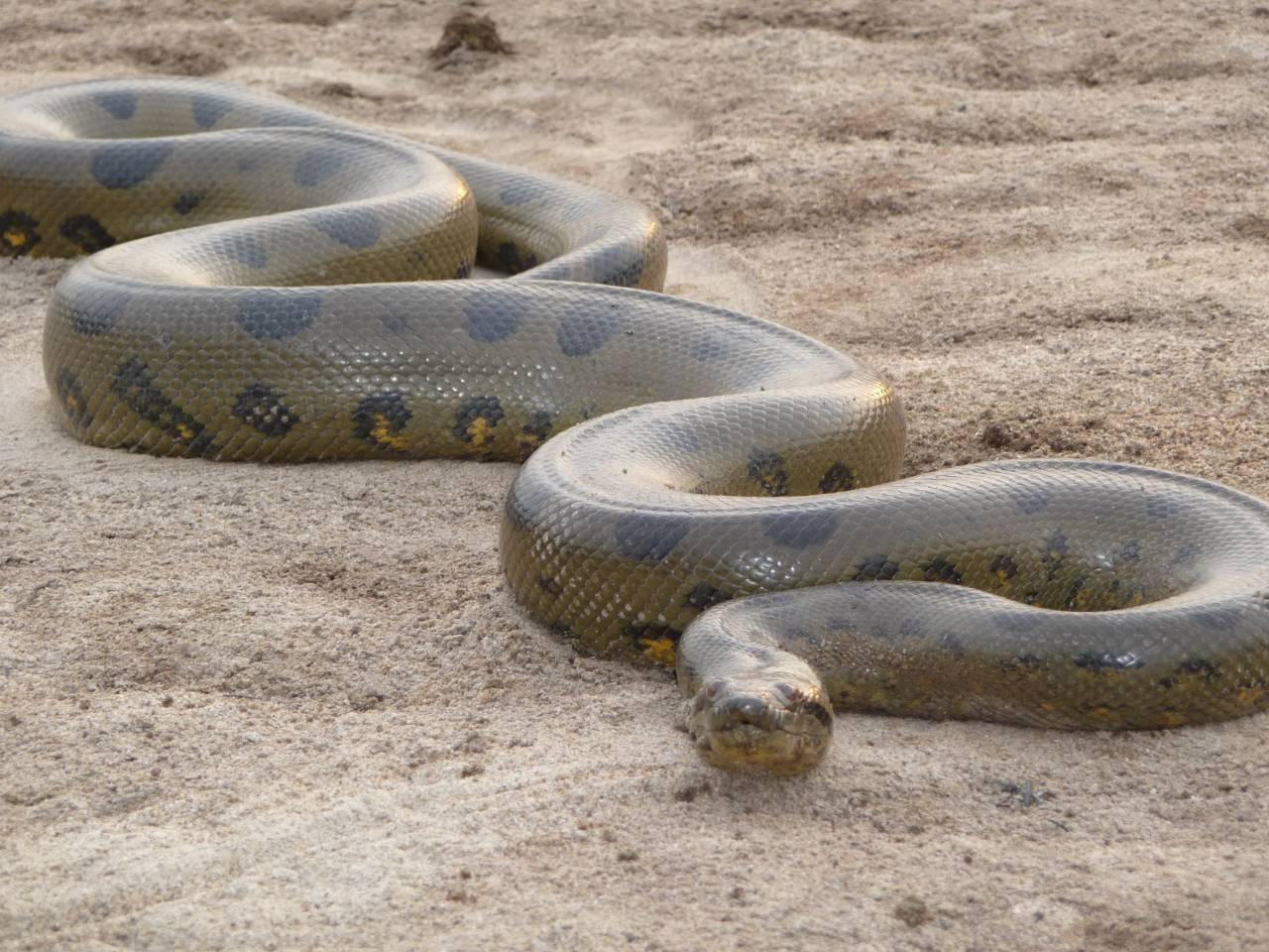 Anaconda Coloring Pages