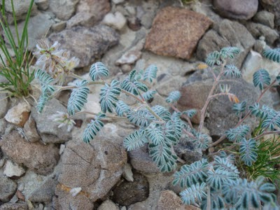 Selaginella Lepidophylla (Tanaman Kebangkitan)
