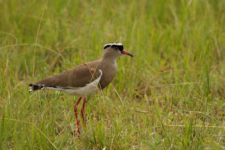 Crowned Lapwing (James Hogg)
