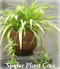 plants care guide caring the spider plant. Black Bedroom Furniture Sets. Home Design Ideas