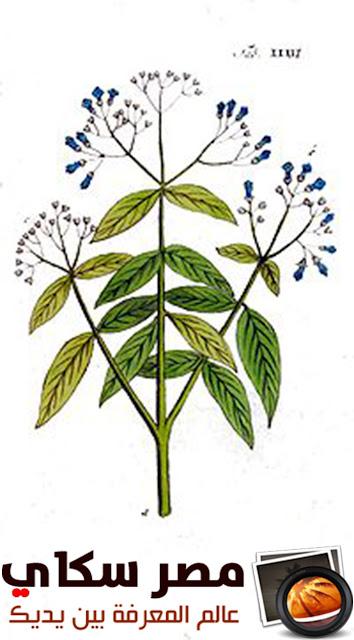 أسرار فن إستعمال نبات الحناء فى التجميل Lawsonia inermis