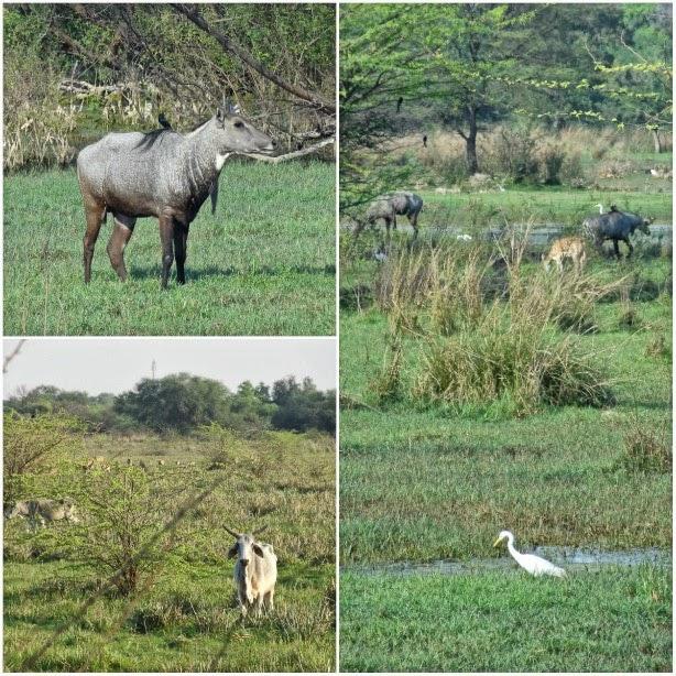 animal keoladeao sambar antilope nilgais nilgaut vache buffle parc national bharatpur