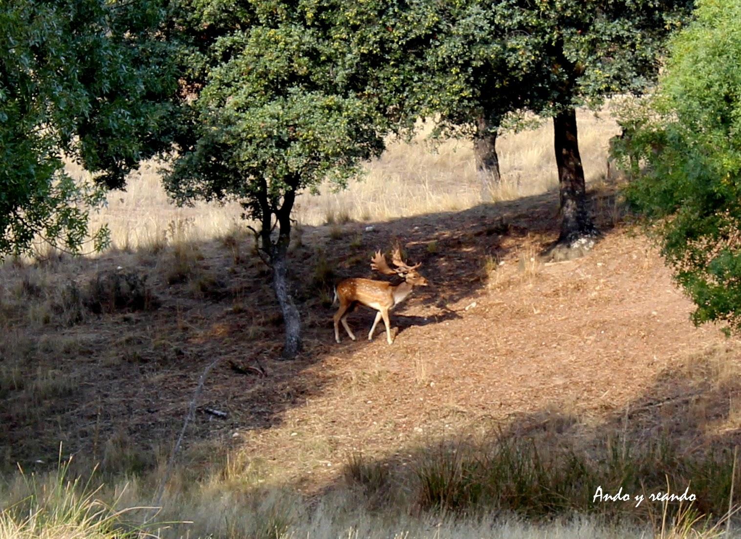 Gamo macho en el Monte de El Pardo