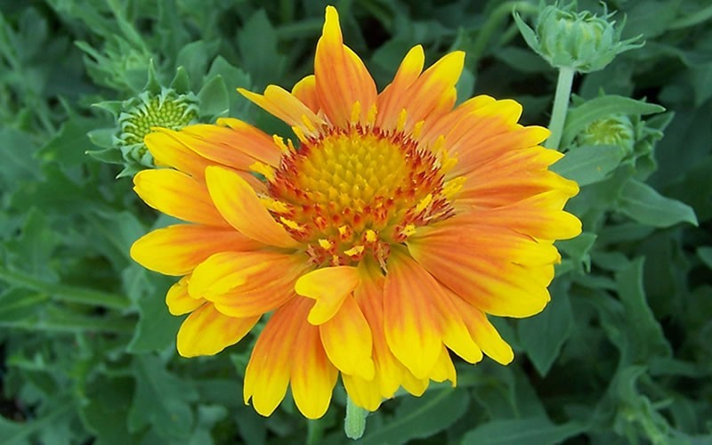 Flower Picture: Blanket Flower Picture