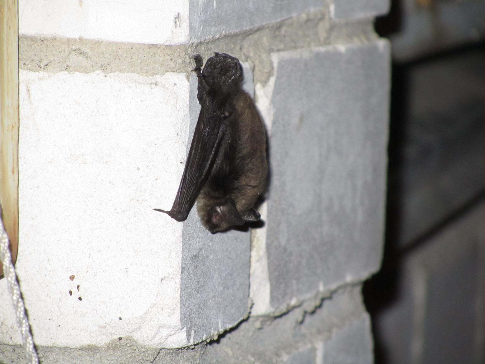 Фурри летучие мыши 13 фотография