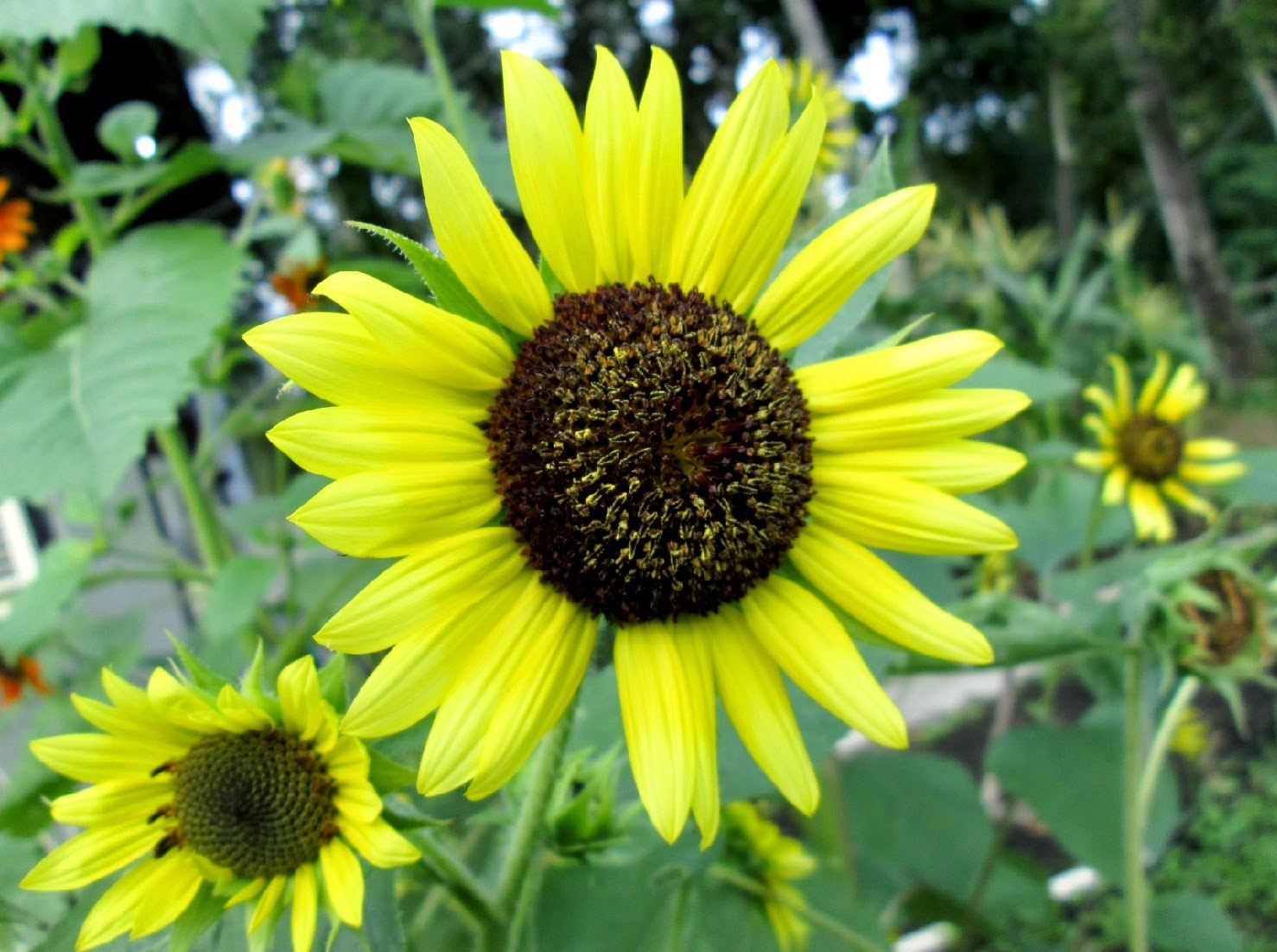 Tips & Care Sunflower