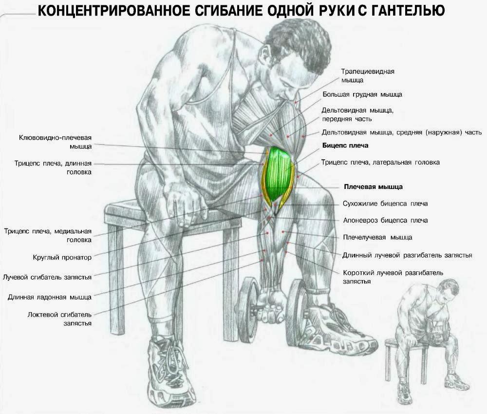 тренировочная схема поднимания гантелей