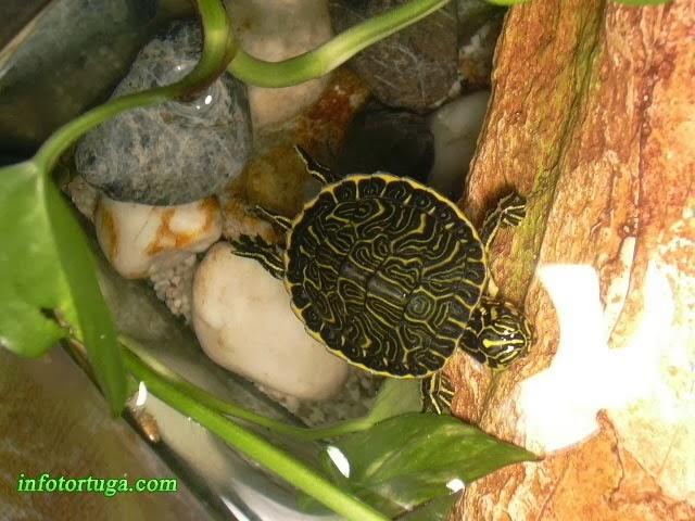 Tortuga de Florida (Pseudemys floridiana peninsularis)