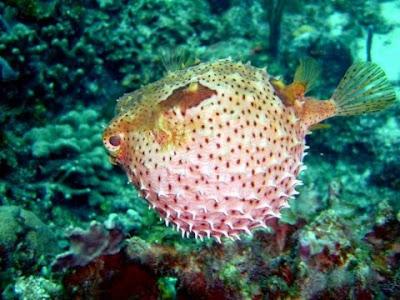 Los peces globo
