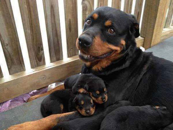 greater swiss dog with puppies