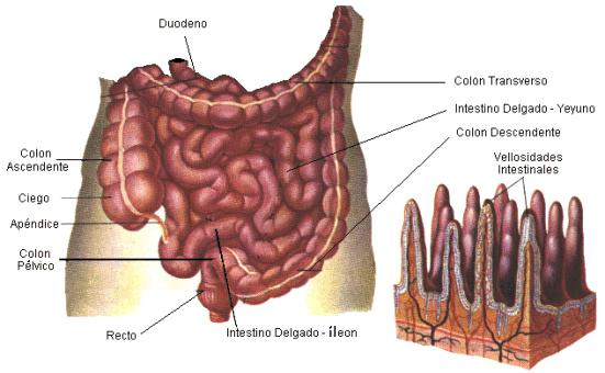 Intestino delgado | CritiKa-DietetiKa