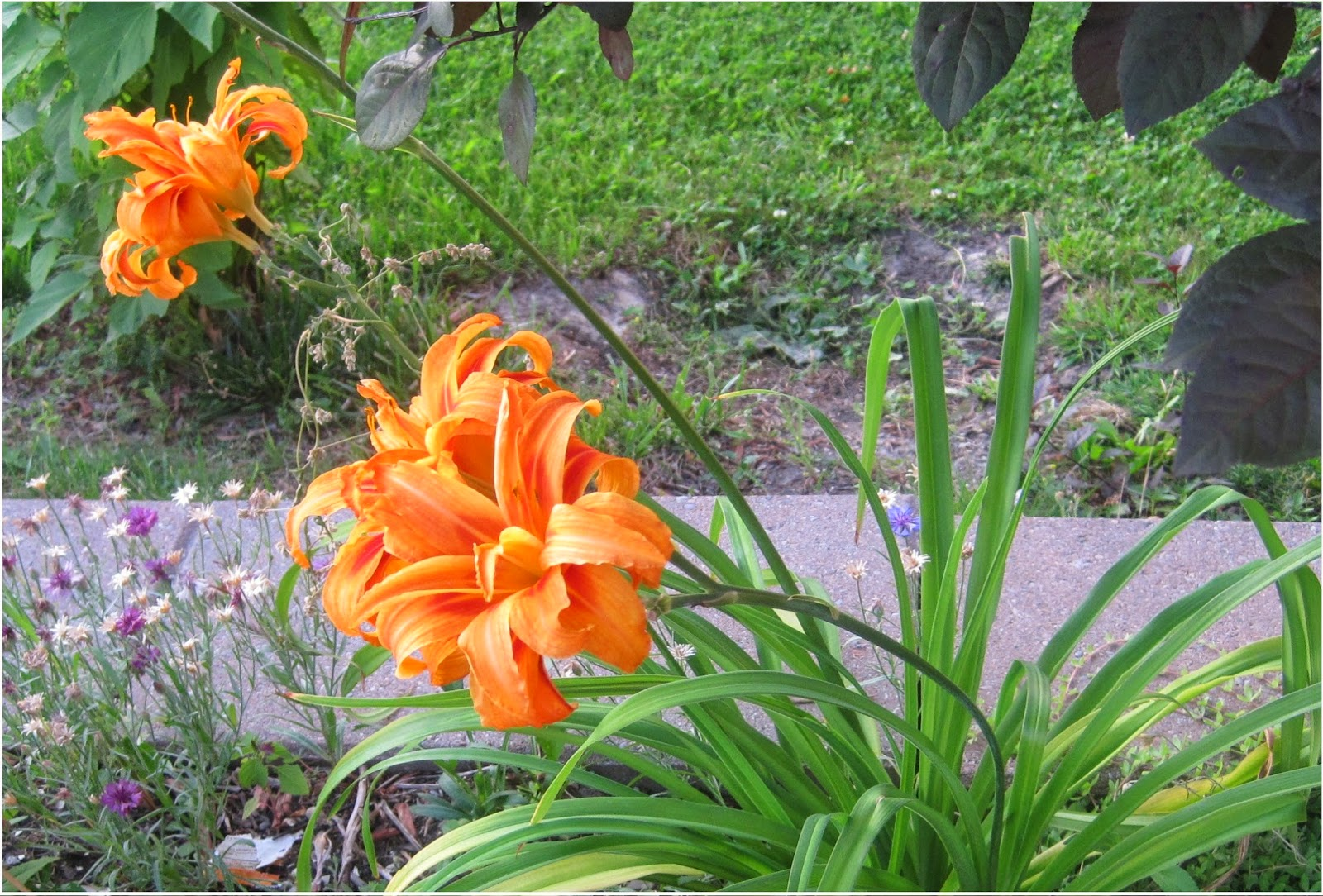 Ajantha's Garden/Orange Day Lily