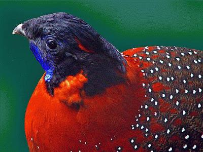 Tragopan Bird 2