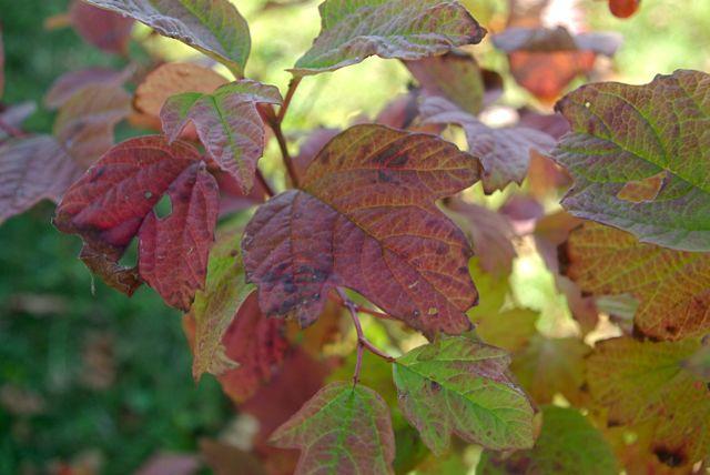 Canoe Corner: Wildflower Wednesday - High Bush Cranberry
