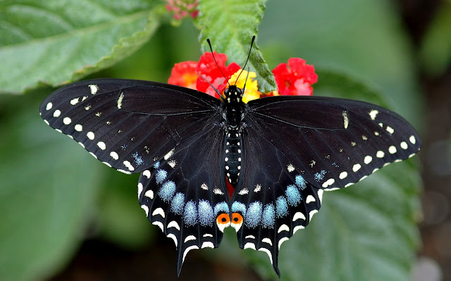 Mariposas Cola de Golondrina - Mariposas Tigre