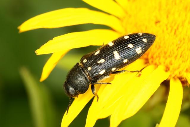 Acmaeodera degener ssp. quattordecimpunctata