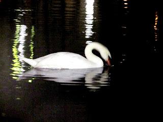 А.Г.Огнивцев (автор фото) НСНБР. На Патриарших прудах в Ночь искусств. Лебеди...
