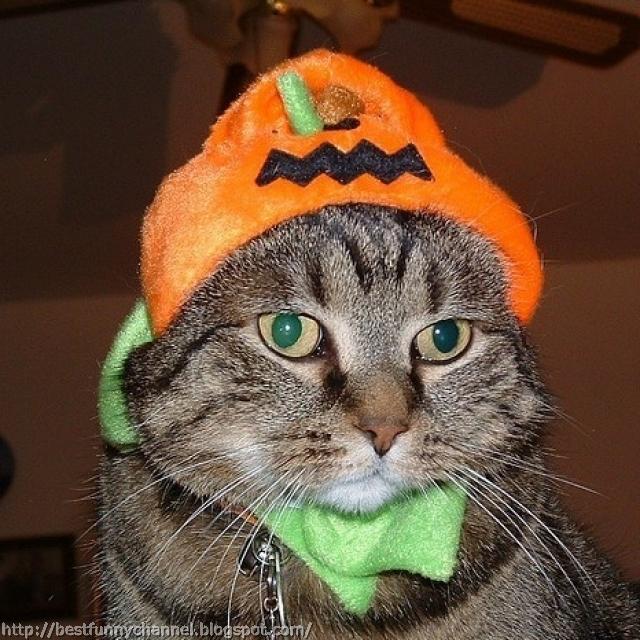 Cat on Halloween.