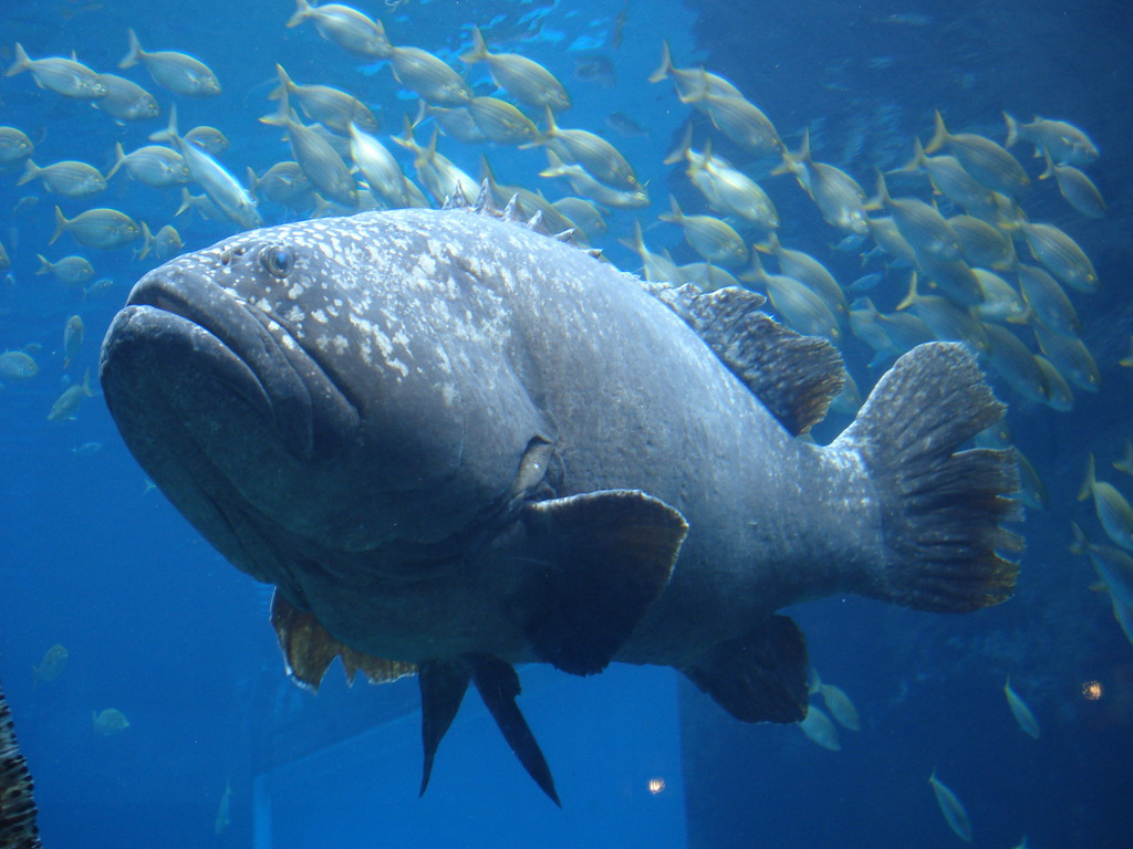 Wherever you go the great blue hole for Goliath grouper fish